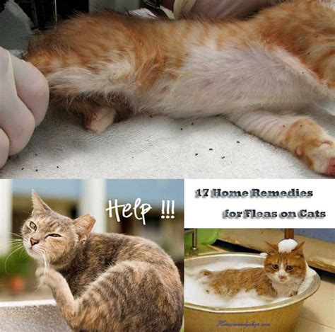 home remedies to get rid of fleas in the house 17 natural home remedies to prevent get rid of fleas on cats