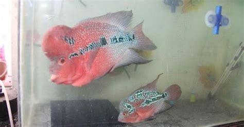 membedakan ikan louhan jantan  betina beserta
