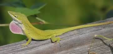 gecko change color dactyloidae
