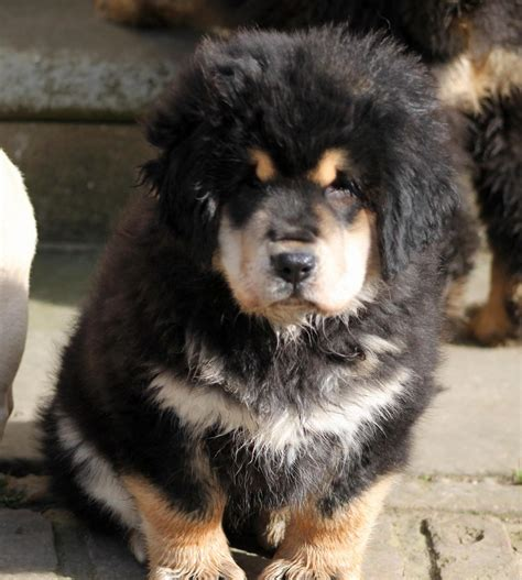 tibetan mastiff puppy for sale tibetan mastiff puppy for sale driffield east of pets4homes