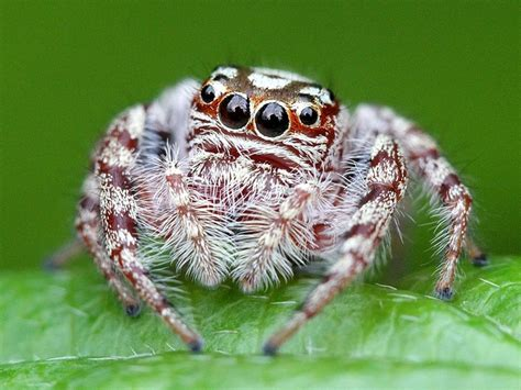 Garden Spider Totem 17 Best Images About Jumping Spiders On