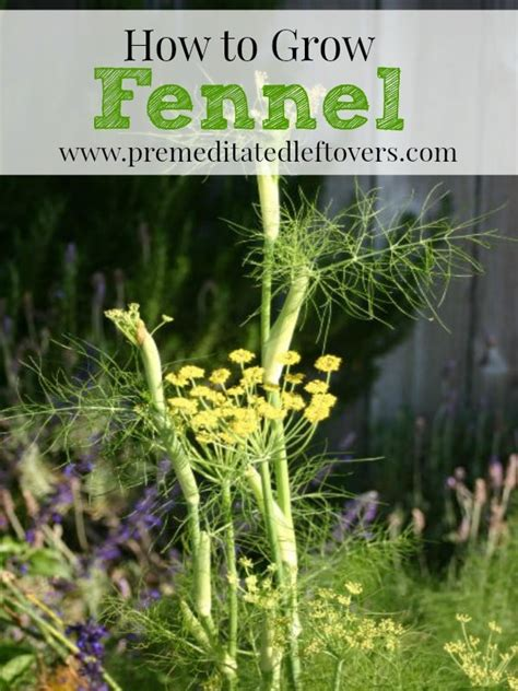 how to grow a herb garden how to grow fennel