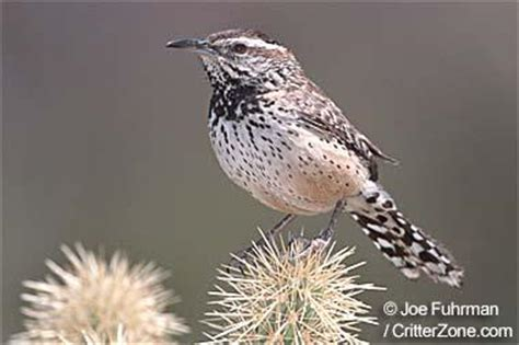 state bird of arizona cactus wren