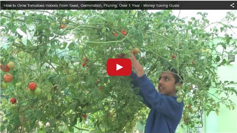 how to grow tomatoes indoors from seed germination pruning over 1 year money saving guide