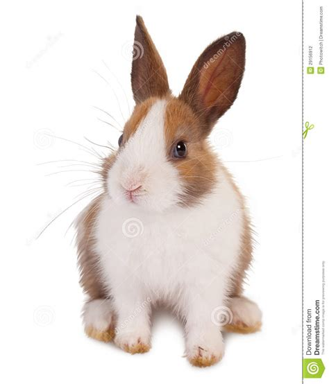 brown and white white and brown rabbit stock photo image of adorable 29156912