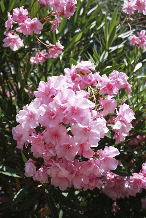 oleander plant fertilizing an oleander what is a fertilizer for oleander shrubs