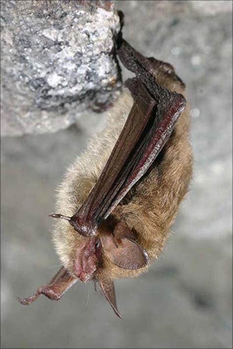 usfws northern long eared bat fact sheet