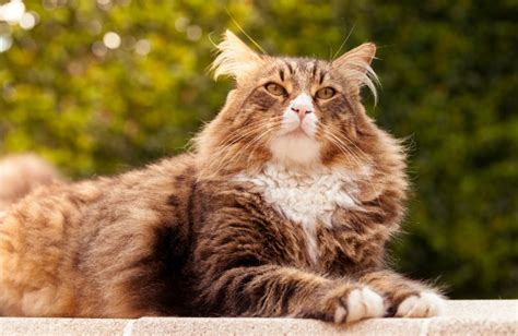 Maine Coon Cat Breed Personality, History, and Pictures