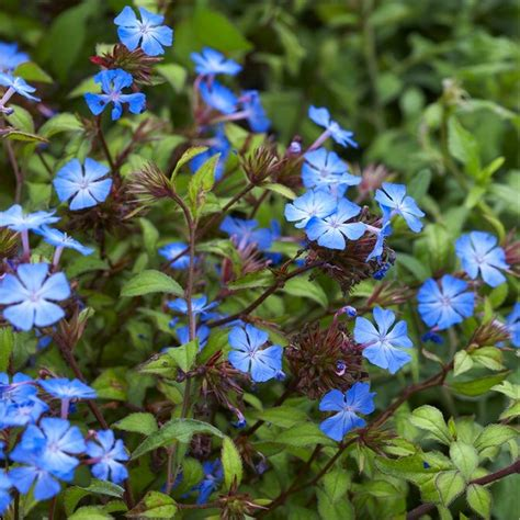 Red Flowering Bushes And Shrubs - hardy cobalt blue plumbago plants pack of three ceratostigma griffithii