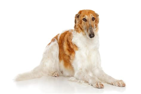Borzoi Shedding by Borzoi Facts Pictures Breeders Temperament
