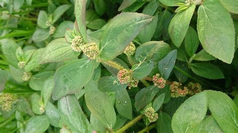 Tanaman Jahe Kebo 150 tanaman obat keluarga serta khasiat cara memanfaatkannya