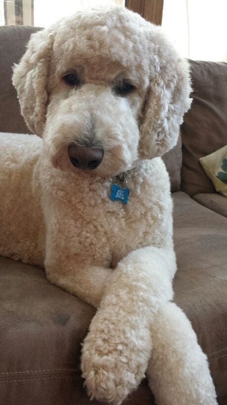 standard poodle face hair cuts dr dog memes imgflip