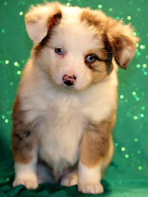 mini aussie puppies for sale 25 best ideas about aussie puppies for sale on mini aussie for sale mini