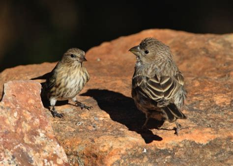 bird of the week the pine siskin pajarito