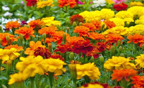 growing marigolds miracle gro