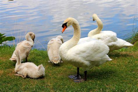 imagenes animales y naturaleza foto gratis cisnes aves naturaleza animales imagen