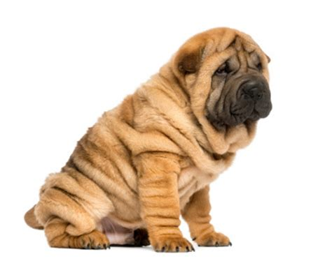 wrinkly puppies 10 most wrinkled and adorable breeds
