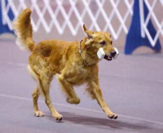 tanbark golden retrievers stud dogs tanbark golden retrievers