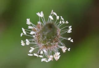 Planter Des Fougères by Plantago Lanceolata Fleurs