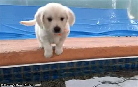 Its Out There For A Pup From The You Are A Photo Pool by Golden Retriever Puppies Go Swimming For The Time