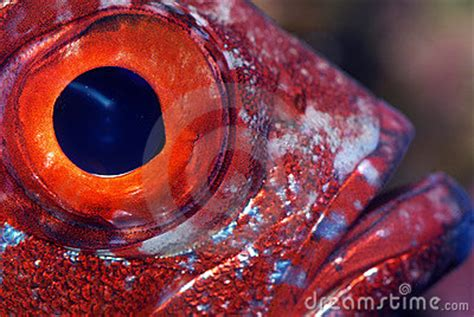 Closeup Of A Fish Eye Royalty Free Stock Image - Image ... Horse Background Clipart