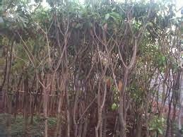 Jual Bibit Gurame Wonogiri jual bibit pohon bintaro di wonogiri jual rumput gajah mini rumput jepang murah