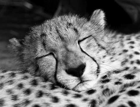 the economy of the animal kingdom considered anatomically physically and philosophically classic reprint ebook 17 best images about cheeta on pinterest dark