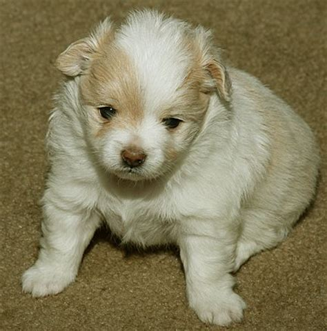 yorkie puppies for sale in florence sc caring for teacup pomerainian pup pics of half pomerainian half cocker spanial
