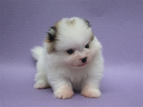pomeranian puppies photos pomeranian puppies pictures photos pics
