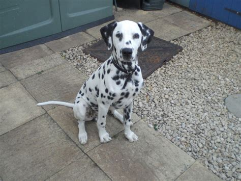 dalmatian puppies for sale houston small breed puppies available for adoption houston dogs for sale pets world