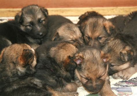 rescue german shepherd puppies gsd puppies rescue german shepherd dogs and puppies for adoption