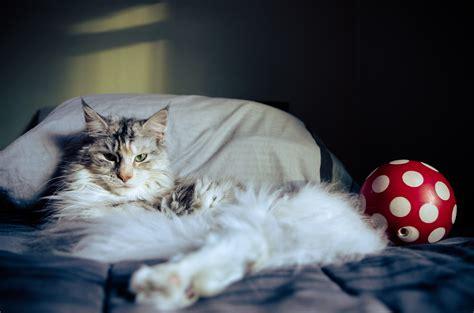 gatto in appartamento gatto in casa gatti in appartamento