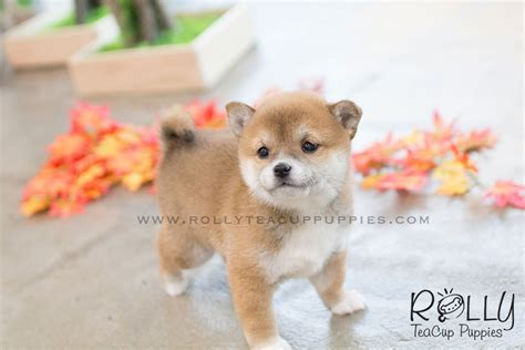 teacup shiba inu puppies for sale sold to morimoto shiba inu f rolly teacup puppies