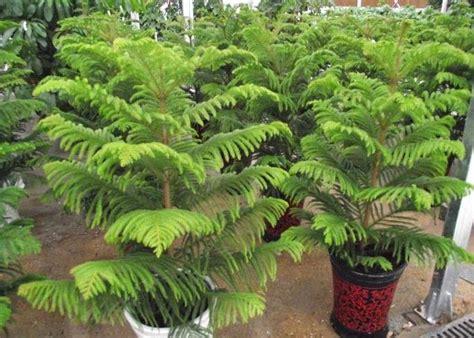 Pohon Natal Tinggi 1 2 Meter Jarum Glazer Kode P 008 cara budidaya tanaman cemara norfolk konsultan pemasaran