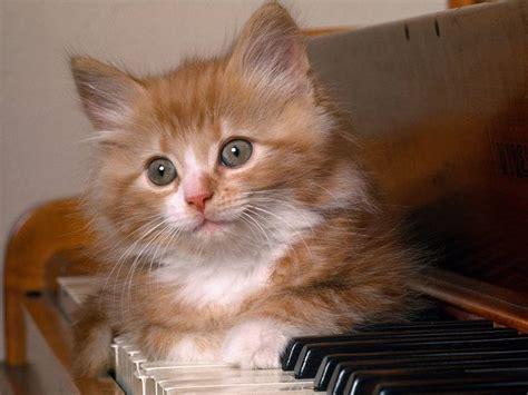 gatti persiani da adottare cerco gattino siberiano in adozione petpassion