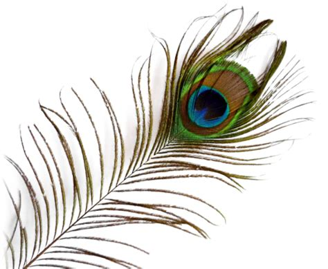feather tattoo png the gallery for gt peacock feather png