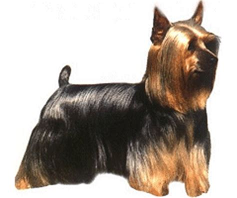 different yorkie breeds different breeds of yorkie trend home design and decor