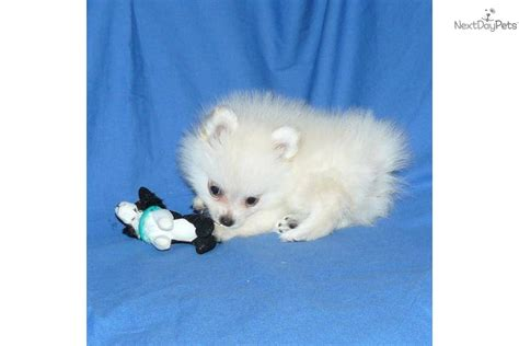 pomeranian puppies for sale nj search results teacup pomeranians for sale in missouri the best hair style