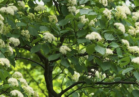 flowering dogwood tree facts