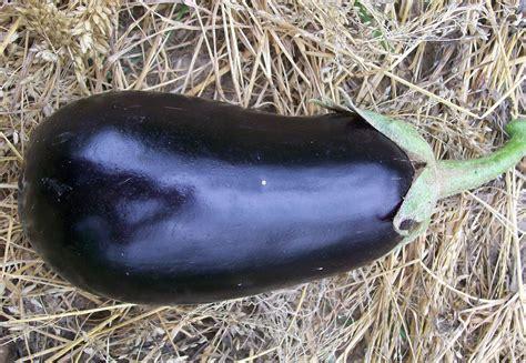 early black egg eggplant   southern exposure seed