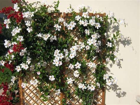 sundaville fiore dipladenia piante da giardino coltivazione dipladenia