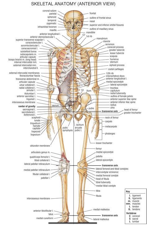 diagram of human anatomy best labeled diagram of a human skeleton diagram of