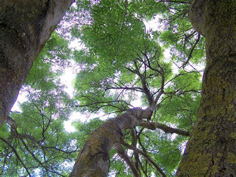 Tree Canopy Definition by Atlantico Periodo