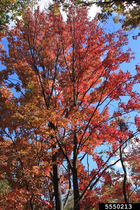 maple tree usda maple acer rubrum