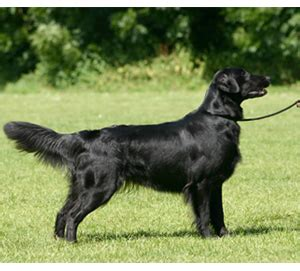 flatcoated retriever square flat coated retriever westminster kennel club