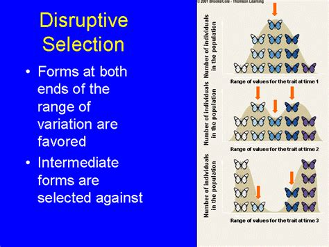 exle of selection disruptive selection