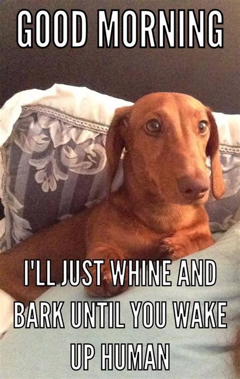 Dachshund Birthday Meme - the dachshund escapades funny dachshunds