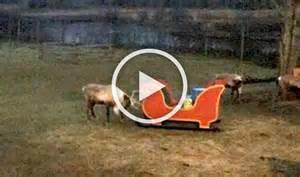 Reindeer attacks santas sleigh online webcam footage of reindeer farm
