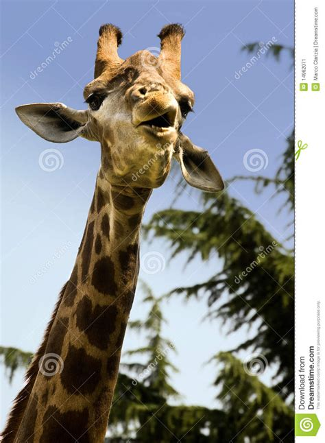 funny giraffe stock image image