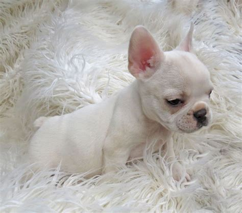 teacup bulldog puppies sale teacup frenchies for sale myideasbedroom